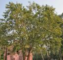 bael-tree.jpg